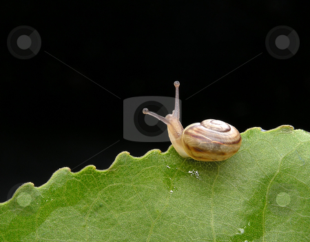 Snail stock photo, Snail on leafs by Marek Kosmal