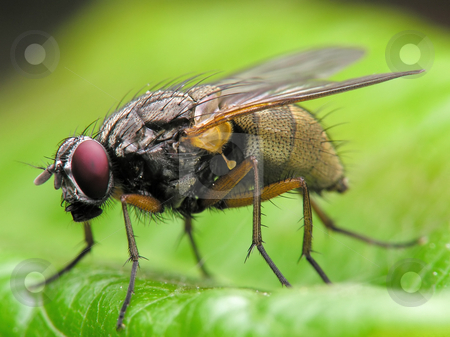 Fly close-up stock photo, Close-up of big fly by Marek Kosmal