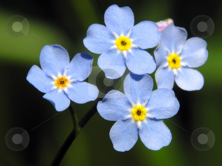 Forget-me-not blue flower stock photo, Forget-me-not blue flower by Marek Kosmal