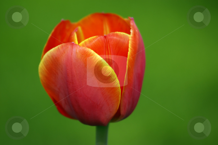 Close-up of beautiful tulip on green background stock photo, Close-up of beautiful tulip on green background by Marek Kosmal