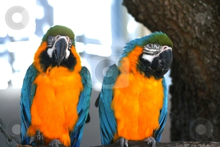 Two Macaws stock photo,  by Thomas Marchessault