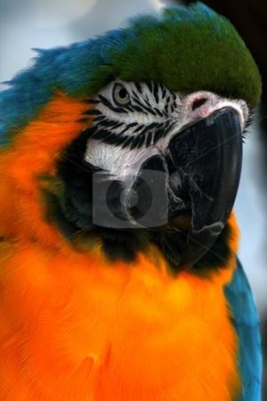 Macaw II stock photo,  by Thomas Marchessault