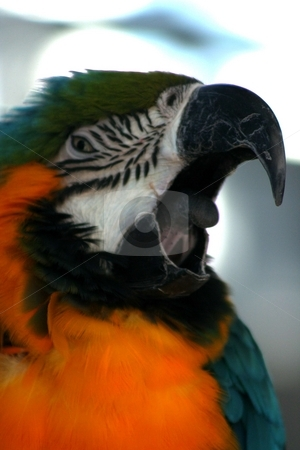 Macaw III stock photo,  by Thomas Marchessault