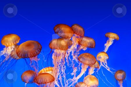 School of sea nettle jellyfish - Chrysaora fuscescens stock photo, School of sea nettle jellyfish - Chrysaora fuscescens on blue background by Denis Radovanovic