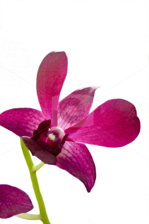 Pink Iris with stem stock photo, A close up micro shot of a pink iris flower by Kevin Tietz