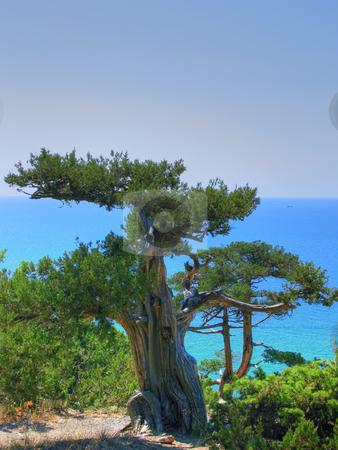 Juniper and sea stock photo, Old juniper and  Black sea in Crimea by Roman Vintonyak
