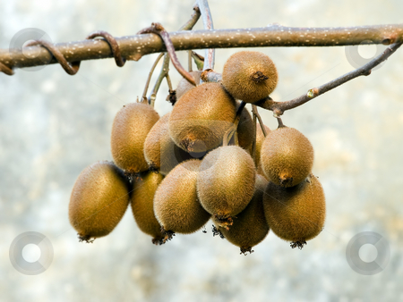 Bunch of Kiwi stock photo, Bunch of ripe kiwi at the time of harvest by Sinisa Botas