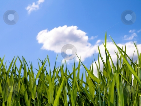 Green wheat field stock photo, Green wheat field at spring under blue with clouds by Laurent Dambies