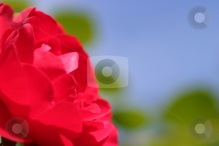 Red Rose stock photo, Red Rose with blue sky in the background. by Henrik Lehnerer