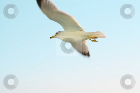 Seagull stock photo, Seagull in flight by Jack Schiffer