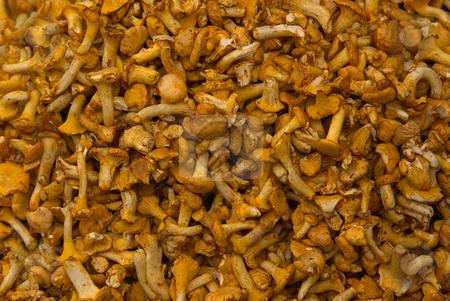 Pfifferling, Eierschwamm Cantharellus cibarius - Golden chanterelle stock photo, Der Pfifferling oder Eierschwamm (Cantharellus cibarius) ist ein Pilz aus der Gattung der Leistlinge (Cantharellus). - Chanterelle or Golden chanterelle (Cantharellus cibarius) is probably the best known species of this genus Cantharellus. by Wolfgang Heidasch