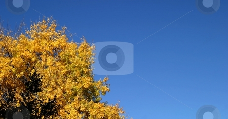 Yellow Autumn Tree stock photo, Yellow autumn tree with blue sky in the background by Henrik Lehnerer