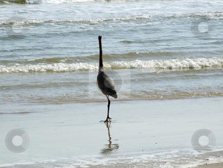 Great Blue Heron Facing Ocean stock photo, The Great Blue Heron is standing on the beach facing the ocean by Marburg