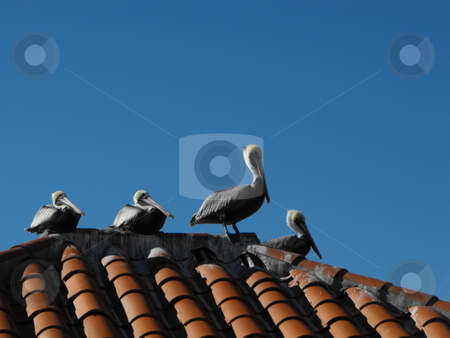 The Pelicans at St. Pete stock photo, A group of Brown Pelicans (Pelecanus occidentalis) sun themselves on a red tile roof  in St. Petersburg, Florida. by Dennis Thomsen