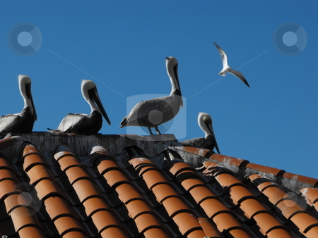The Pelicans at St. Pete stock photo, A group of Brown Pelicans(Pelecanus occidentalis) sun themselves on a red tile roof in St. Petersburg, Florida. by Dennis Thomsen
