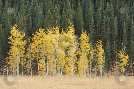 Aspen Pines Changing Color  stock photo, Aspen Pines Changing Against the Mountain Side by Andy Dean