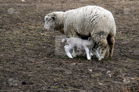 Ewe with Newborn Lamb stock photo, A mother ewe, feeding her newborn lamb by Tom and Beth Pulsipher