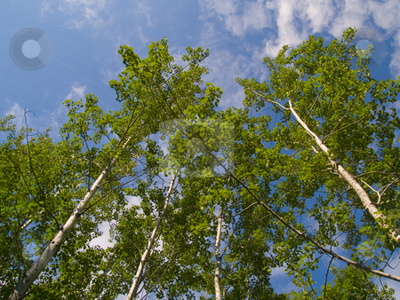 Green Birch Reaching Into Blue Sky stock photo, Green birch trees reaching into a blue sky in the North Woods of Minnesota. by John McLaird