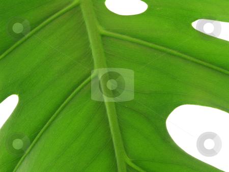 Macro of leaf veins stock photo, Macro of leaf veins on a white background by John Teeter