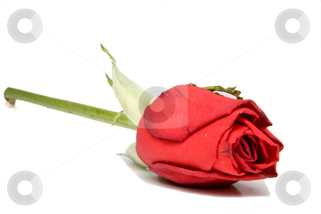 Red Rose stock photo, A single red rose for Valentines Day. by Robert Byron
