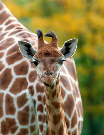 Cute baby Giraffe stock photo, Portrait of a cute baby Giraffe in the wild. by Martin Crowdy