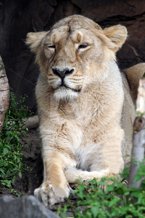 African Lioness stock photo, Single female adult African lioness in wilderness, Kenya. by Martin Crowdy