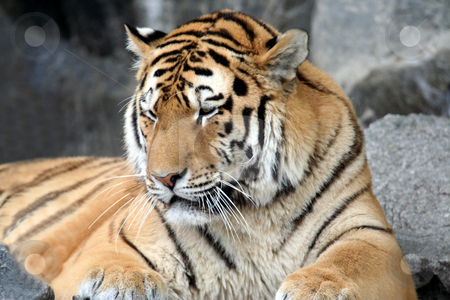Adult male Tiger portrait stock photo, Portrait of a beautiful adult tiger. by Martin Crowdy