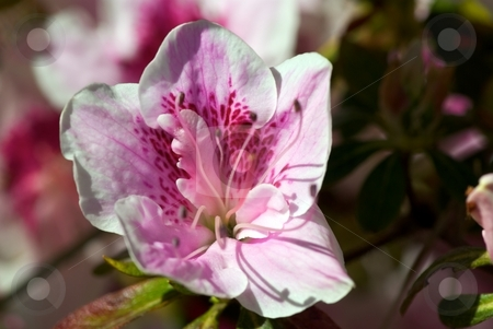 Cherry Blossom stock photo, Cherry Blossom in Bloom by Charles Jetzer