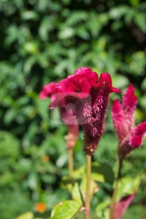 Magneta Velvet Ruffles stock photo, Closeup of a velvet ruffled flower bloom. by Charles Jetzer