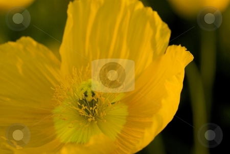 Golden Oriental Poppy stock photo, Closeup on a Golden Oriental Poppy bloom. by Charles Jetzer