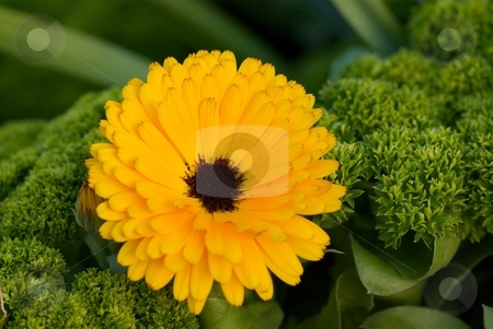 Blackeye Bloom stock photo, Closeup of a yellow flower with a black center in bloom. by Charles Jetzer