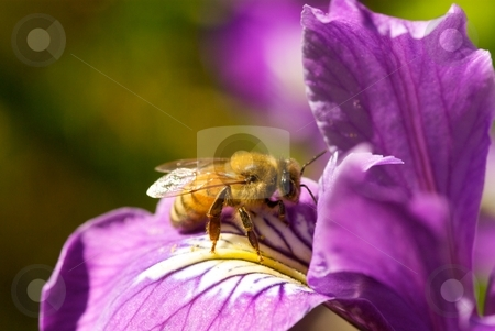 Violet Iris Pollination stock photo, Bee pollinating a violet Iris. by Charles Jetzer