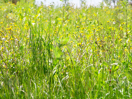 Yellow flowers and green grass  stock photo, Natural green grass and herbs in the ground with little yellow flowers by Natalia Gesto