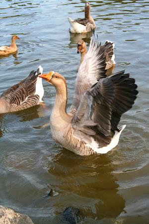 Grey Goose stock photo,  by Michael Felix