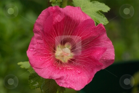 Pink Holly Hock Closeup stock photo, Pink Holly Hock Bloom by Charles Jetzer
