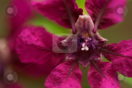 Flamenco stock photo, Closeup of a Cuphea Flamenco bloom by Charles Jetzer