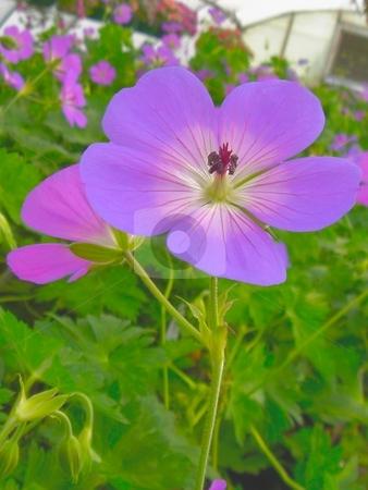 Jolly Bee Geranium stock photo, Closeup of a Jolly Bee Geranium bloom by Charles Jetzer