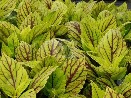 Lime Coleus Foliage stock photo, Closeup of Lime Coleus Foliage with purple veins by Charles Jetzer