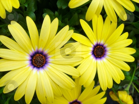 Yellow Ostes stock photo, Closeup of Yellow Osteospermum blooms by Charles Jetzer