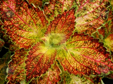 Rusty Coleus stock photo, Closeup of a rusty yellow green Coleus from above by Charles Jetzer