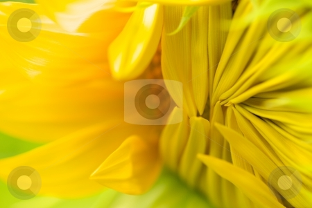 Opening Sunflower Petals stock photo, Closeup on opening sunflower petals by Charles Jetzer