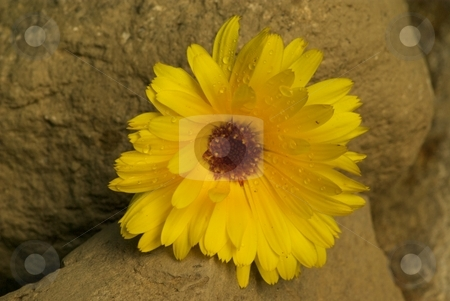 Yellow Wildflower on rocks stock photo, A yellow wildflower on rocks by Charles Jetzer