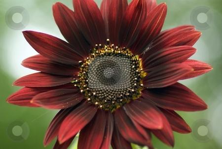Dark Red Sunflower stock photo, Dark red Sunflower in full bloom by Charles Jetzer