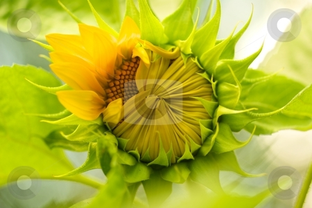 Opening Sunflower stock photo, A Sunflower just opening its petals by Charles Jetzer
