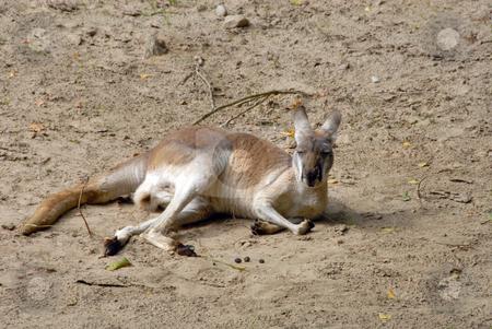 An eastern grey kangaroo stock photo, An eastern grey kangaroo sitting down and having a rest by Joanna Szycik