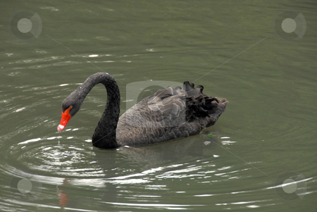 Black swan stock photo, Black swan on the shore of the lake by Joanna Szycik