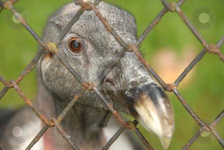 Condor stock photo, Close up of an adult andean condor by Joanna Szycik