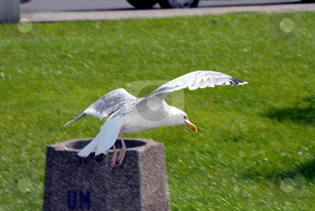 Gull stock photo, Gull is starting... by Joanna Szycik