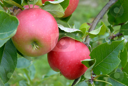 Apples stock photo, Two fresh apples on the tree in my garden by Joanna Szycik