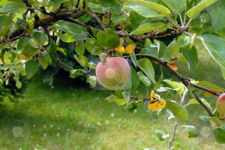 Photo of Apple stock photo, Photo of Apple on an Apple Tree by Joanna Szycik